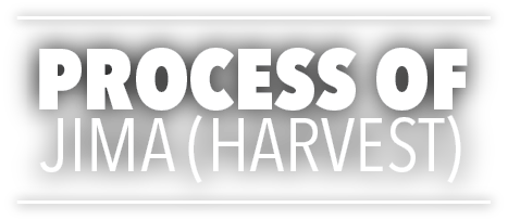 Process of Jima (harvest)